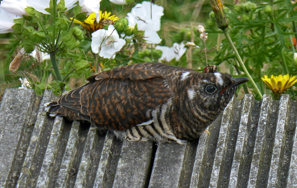 Cuckoo on decking.